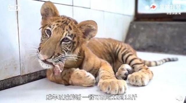 世界唯一虎狮虎兽宝宝满百天