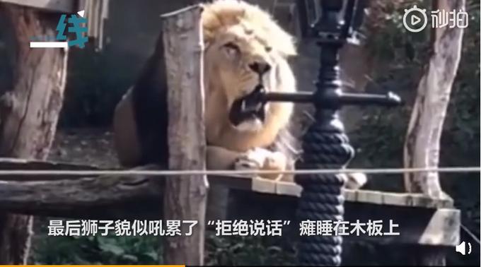 动物园狮子与游客对吼,狮子吼累了瘫睡在木板上