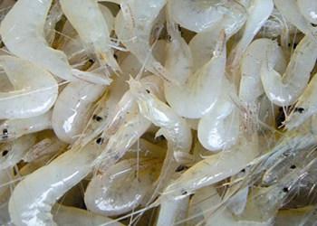 中国拒收1000个集装箱的印度虾 印度进口虾能吃吗