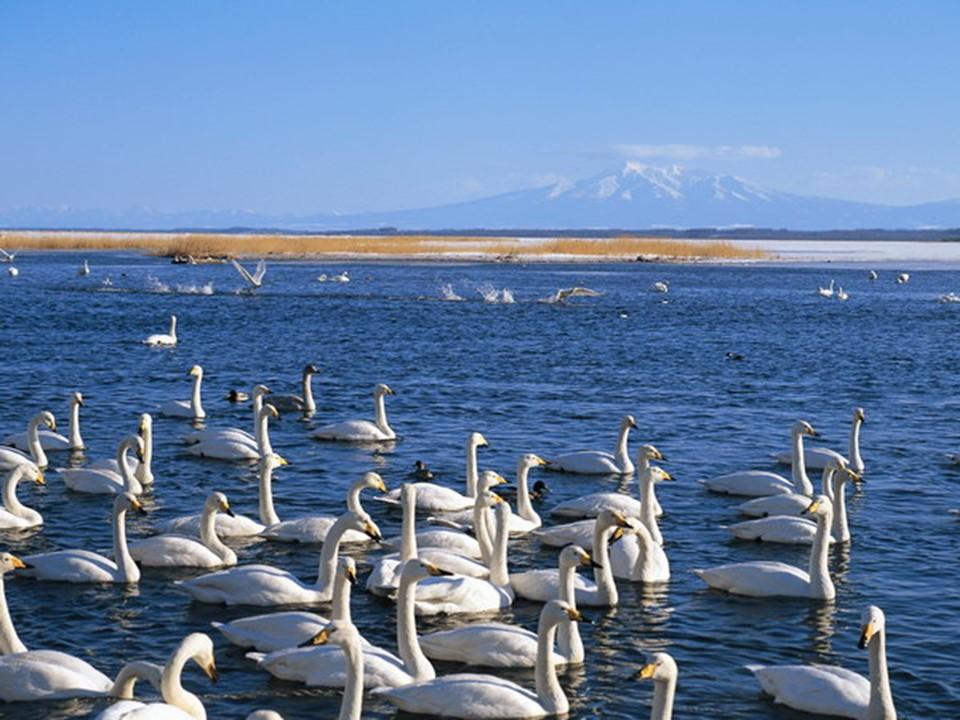 《湖滩上,有一对天鹅》PPT课件4下载