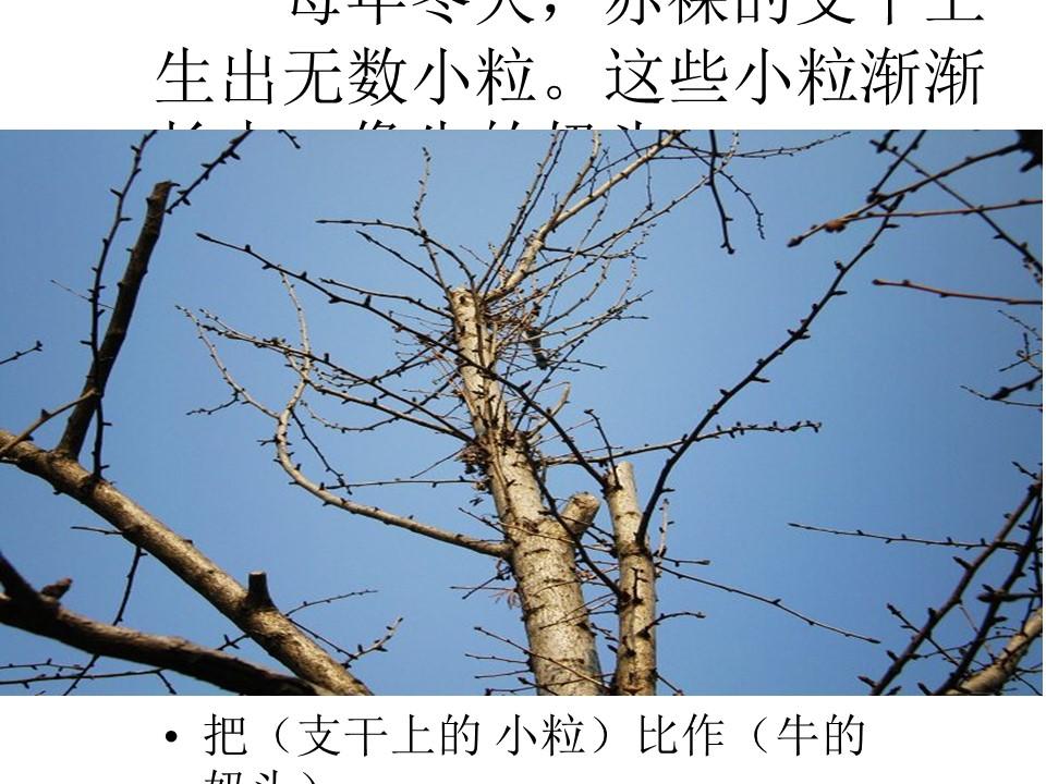 《三棵银杏树》PPT课件2下载